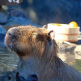 伊豆シャボテン動物公園の温泉でまったりするカピバラ